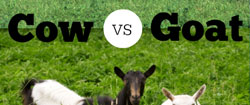 Difference Between Cow and Goat's Milk